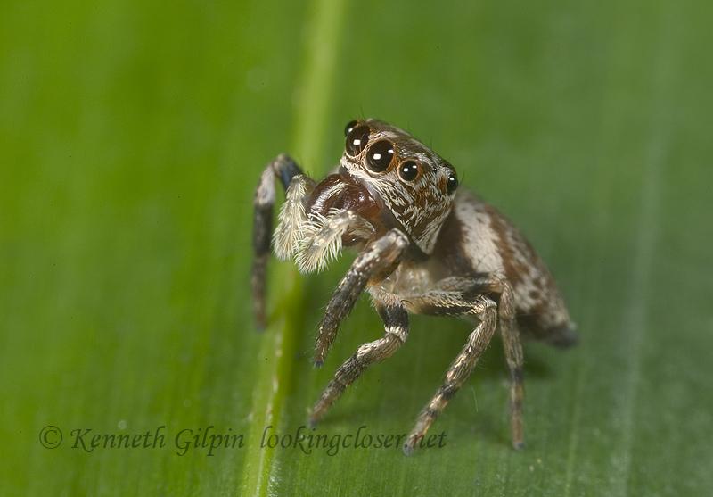 jumping spider: